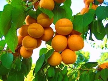 как выбрать абрикосы для кураги